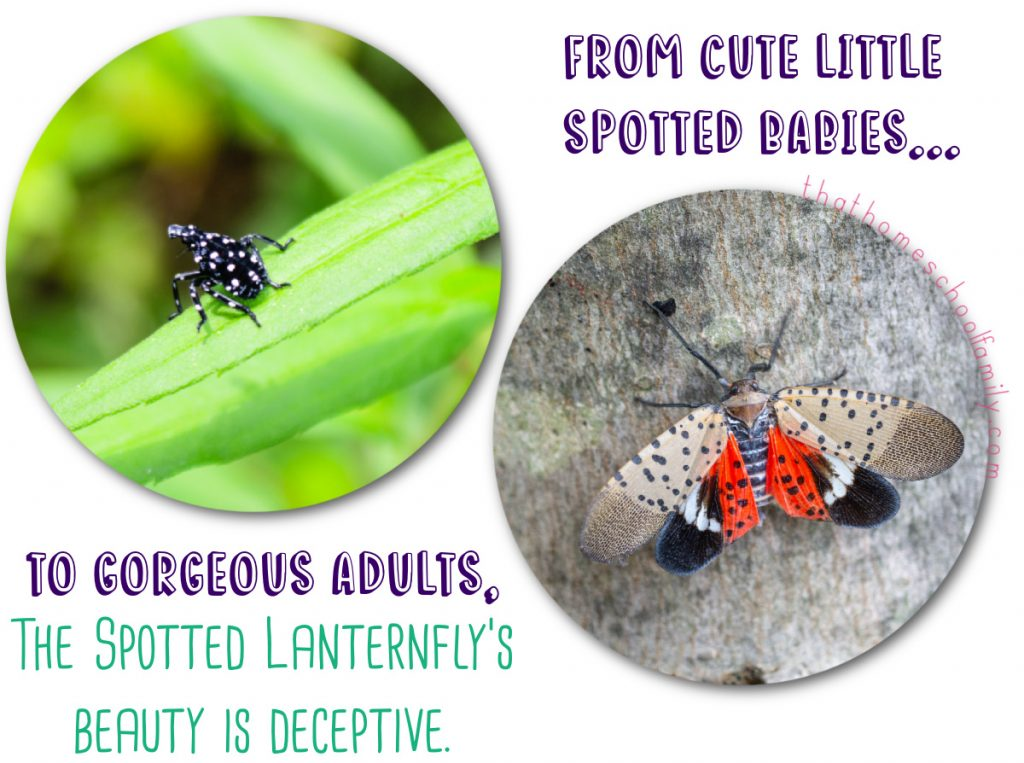 cute little spotted babies to gorgeous adults the spotted lanternfly beauty is deceptive text with images of spotted lanternflies for the How to Kill Spotted Lanternflies with a Vacuum article from That Homeschool Family written by Elizabeth Dukart