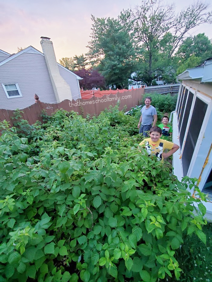 a father and two sons standing in a home raspberry bush garden from the That Homeschool Family article How to Kill Lanternflies with a Vacuum written by Elizabeth Dukart