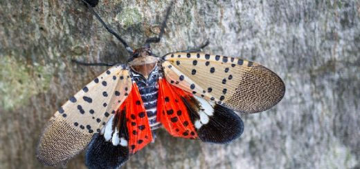 how to kill spotted lanternflies with a vacuum article featured image from That Homeschool Family written by Elizabeth Dukart.
