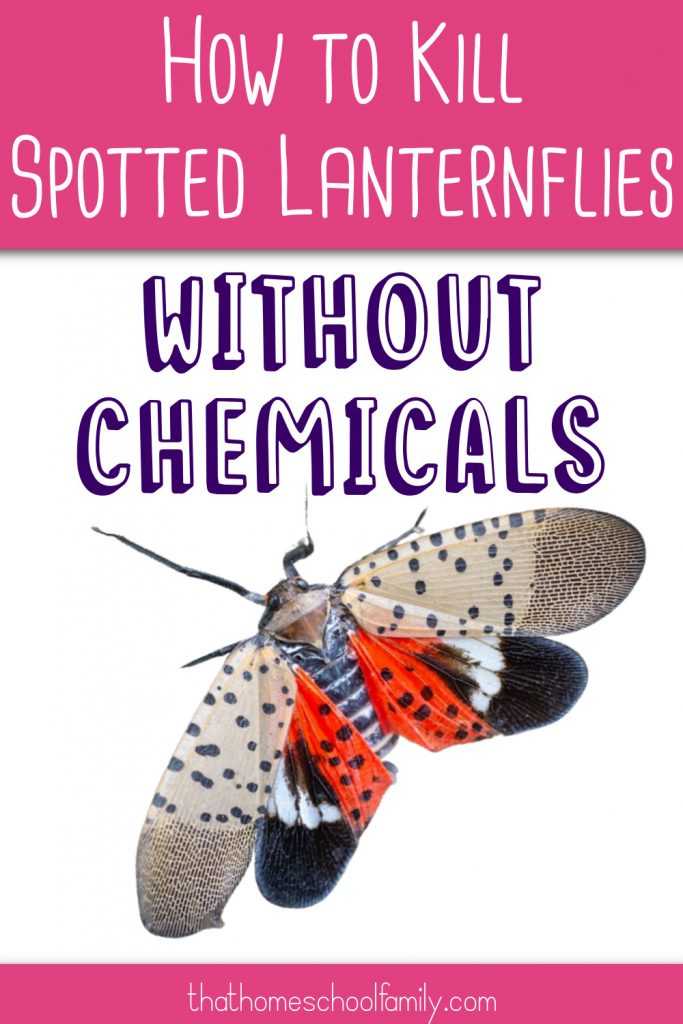 how to kill spotted lanternflies without chemicals text with an image of the Spotted Lanternfly